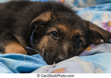 Cute German shepherd puppy in the house exploring the world