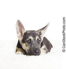 cute German Shepherd puppy looks