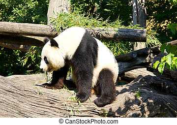 Cute giant panda standing up after sleeping