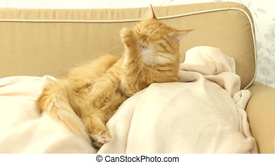 Cute ginger cat licking itself on a beige couch. Fluffy pet comfortably settled to sleep. Cozy home background with funny pet.