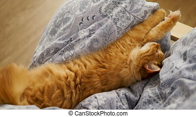 Cute ginger cat lying belly up on chair. Fluffy pet dozing...