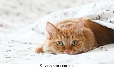 Cute ginger cat lying in bed. Fluffy pet comfortably settled to sleep under blanket, then suddenly attacked something behind the scene. Cozy home background with funny pet
