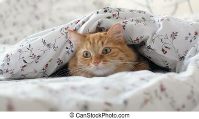 Cute ginger cat lying in bed. Fluffy pet hiding under blanket, looking curiously on something moving under a sheet. Cozy home background with funny pet.