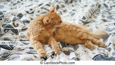 Cute ginger cat lying in bed. Fluffy pet is licking its...