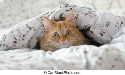 Cute ginger cat lying in bed. Fluffy pet hiding under...
