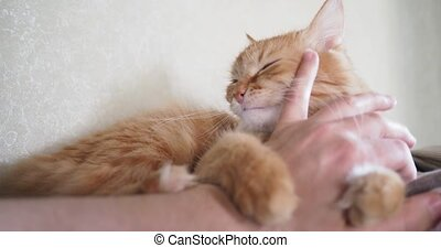 Cute ginger cat lying in bed. Man strokes kitty, it frowning of pleasure and biting. Cozy home background with fluffy pet.