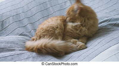 Cute ginger cat lying in bed on grey blanket. Fluffy pet is...