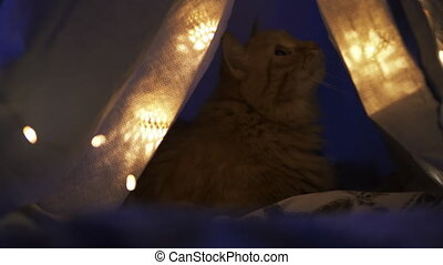 Cute ginger cat lying in children's tent made of linen sheet on bed. Cozy evening.