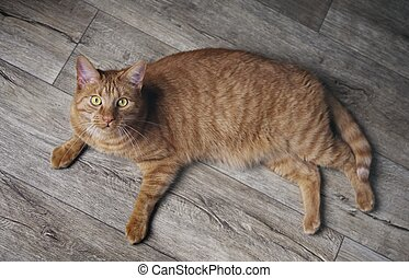 Cute ginger cat lying on a hardwood floor and looking curious up to the camera.