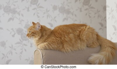 Cute ginger cat lying on arm of sofa. Fluffy pet starring in...