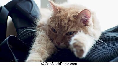 Cute ginger cat lying on backpack. Fluffy pet looks...