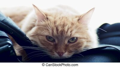 Cute ginger cat lying on backpack. Fluffy pet starring in...