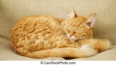 Cute ginger cat lying on beige chair. Fluffy pet going to...
