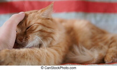 Cute ginger cat lying on chair. Fluffy pet biting playfully...