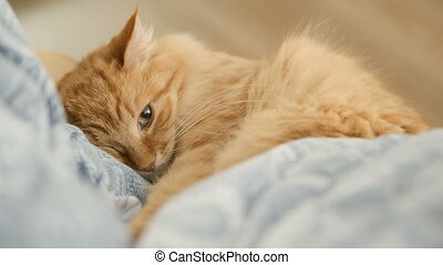 Cute ginger cat lying on chair. Fluffy pet dozing on blue...