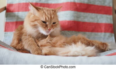 Cute ginger cat lying on chair. Fluffy pet licking it's fur...