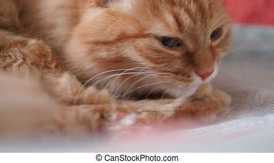 Cute ginger cat lying on chair. Fluffy pet licking it's paws...
