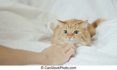 Cute ginger cat playing with human's hand under white sheet....
