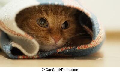 Cute ginger cat sitting inside rolled up carpet. Fluffy pet...