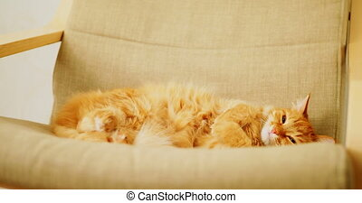Cute ginger cat sleeping on beige chair. Fluffy pet dozing...