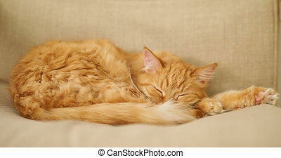 Cute ginger cat sleeping on beige chair. Fluffy pet dozing on couch. Cozy home.