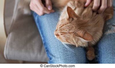 Cute ginger cat sleeping on knees. Fluffy pet dozing , woman...