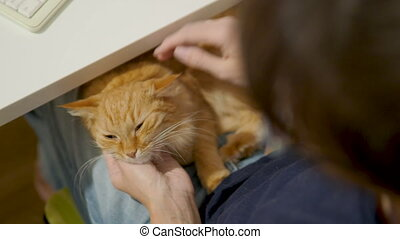 Cute ginger cat sleeping on woman's knees. Woman strokes...