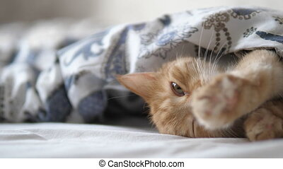 Cute ginger cat sleeps in bed. Fluffy pet comfortably settled under blanket.