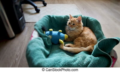 Cute ginger kitten dozing in its bed with blue toy bull....