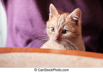 cute ginger kitten sitting at table on woman lap