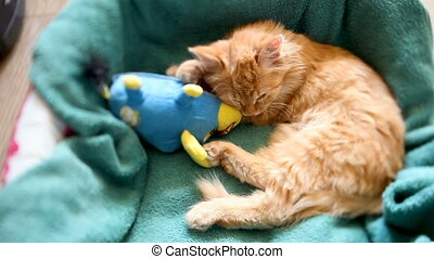 Cute ginger kitten sleeps in its bed with blue toy bull....