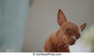 Cute ginger mini pinscher is scratching itself with back...