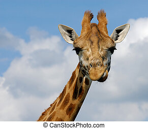 cute giraffe - close-up of a funny giraffe