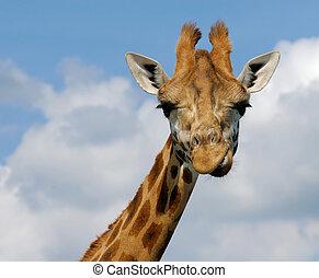 cute giraffe - close-up of a funny giraffe