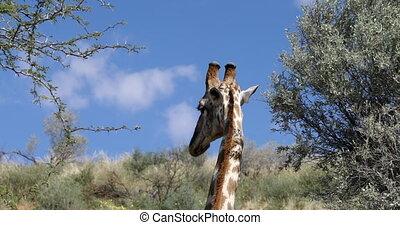 cute Giraffes in Kalahari, South Africa - cute Giraffes...