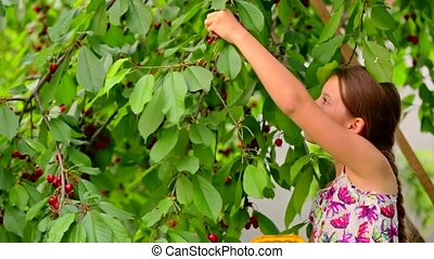 Cute Girl Picking Cherries In The Garden
