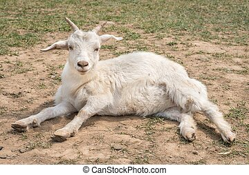 Cute goat lying on the ground