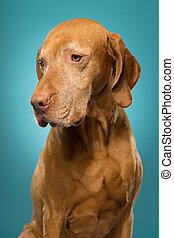 cute golden colour pure breed vizsla dog portrait