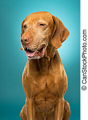 cute golden colour pure breed vizsla dog portrait