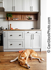 cute golden dog sitting at stylish light gray kitchen interior with modern cabinets and stainless steel appliances in new home. design in scandinavian style. green plants decor