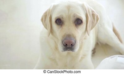 Cute golden labrador looking at the camera - Cute golden...