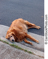 Golden Retriever dog in lays side on road next to sidewalk -...
