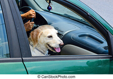 Cute golden retriever dog riding in a car while sitting like a human with his tongue out