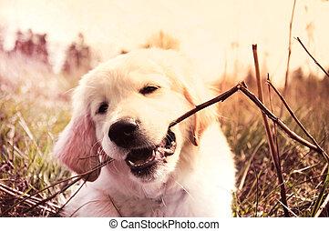Baby animal. - Cute golden retriever puppy bites branch. ...