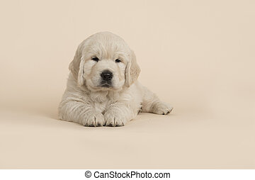 Cute golden retriever puppy looking at the camera lying down on a sand colored background