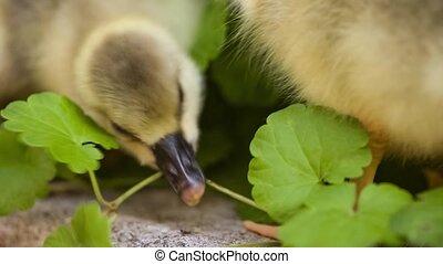 Cute domestic gosling walking in green grass outdoor