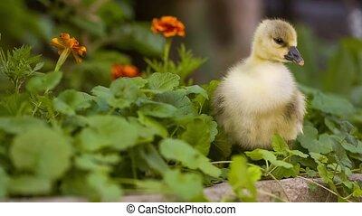 Cute gosling in green grass