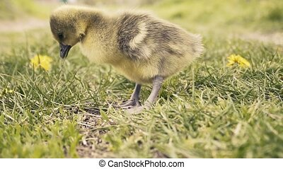 Cute gosling's resting in a meadow grass. - Cute gosling ...
