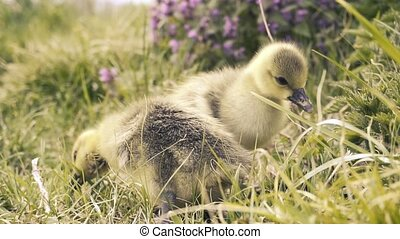 Cute gosling resting in a meadow grass. home farm