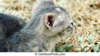 Cute gray kitten play in grass closeup hand held shot - Cute...